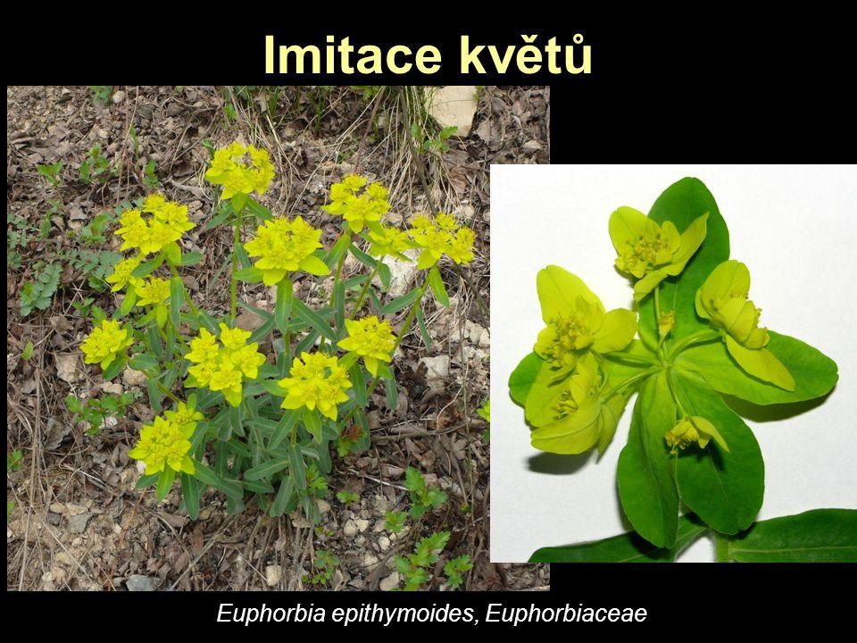 Imitace květů Euphorbia epithymoides, Euphorbiaceae