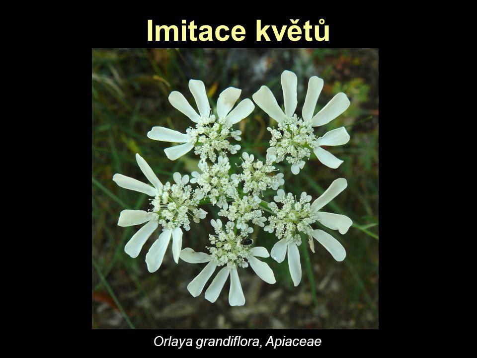 Imitace květů Orlaya grandiflora, Apiaceae