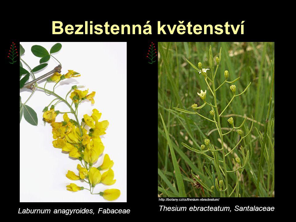 Bezlistenná květenství http://botany.cz/cs/thesium-ebracteatum/ Thesium ebracteatum, Santalaceae Laburnum anagyroides, Fabaceae