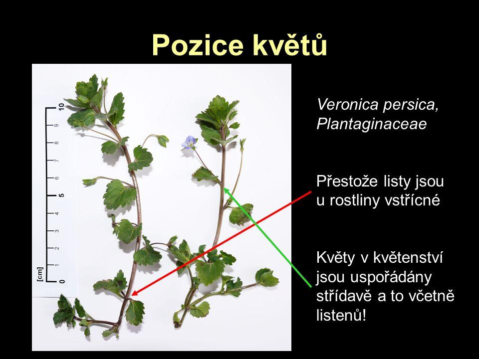 Pozice květů Veronica persica, Plantaginaceae Přestože listy jsou u rostliny vstřícné Květy v květenství jsou uspořádány střídavě a to včetně listenů!