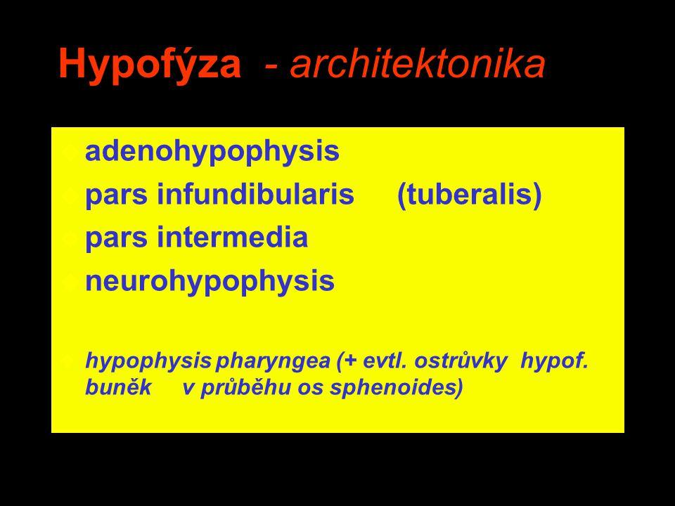 Hypofýza - architektonika u adenohypophysis u pars infundibularis (tuberalis) u pars intermedia u neurohypophysis u hypophysis pharyngea (+ evtl. ostr