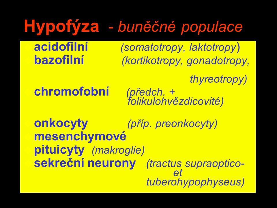 Hypofýza - buněčné populace u acidofilní (somatotropy, laktotropy ) u bazofilní (kortikotropy, gonadotropy, thyreotropy) u chromofobní (předch. + foli