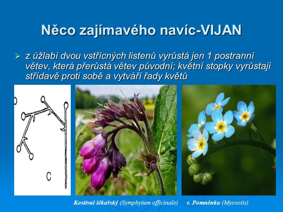 Něco zajímavého navíc-VIJAN  z úžlabí dvou vstřícných listenů vyrůstá jen 1 postranní větev, která přerůstá větev původní; květní stopky vyrůstají střídavě proti sobě a vytváří řady květů Kostival lékařský (Symphytum officinale)r.