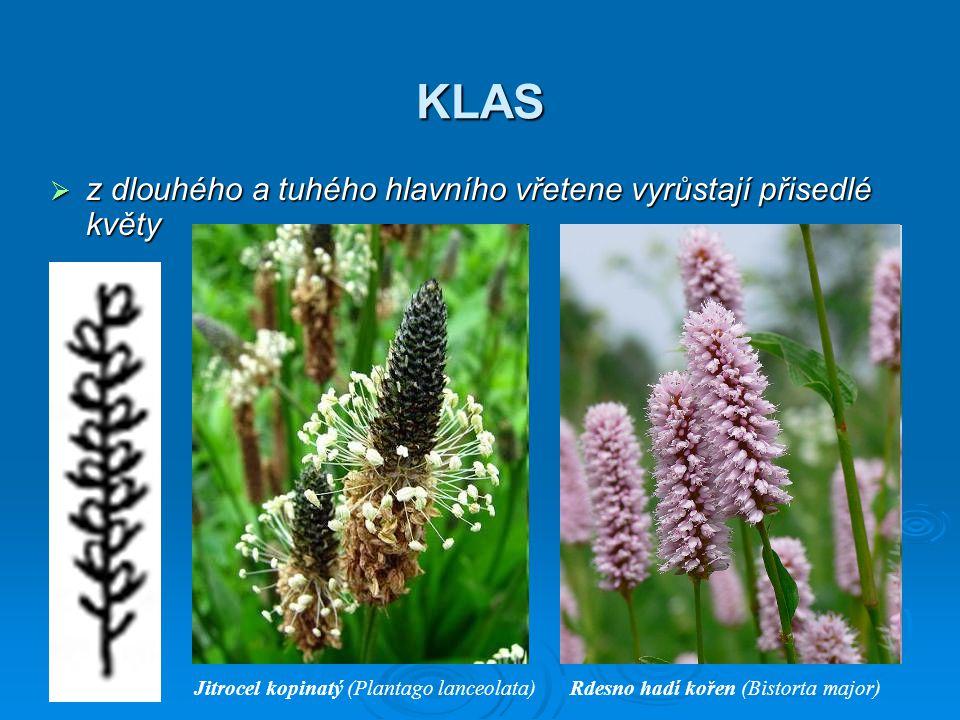 JEHNĚDA  z dlouhého hlavního vřetene vyrůstají přisedlé květy nebo jen krátce stopkaté květy Bříza bělokorá (Betula pendula)Topol osika (Populus tremula)