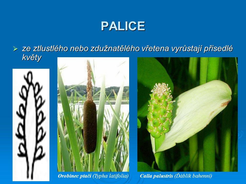 PALICE  ze ztlustlého nebo zdužnatělého vřetena vyrůstají přisedlé květy Orobinec ptačí (Typha latifolia)Calla palustris (Ďáblík bahenní)