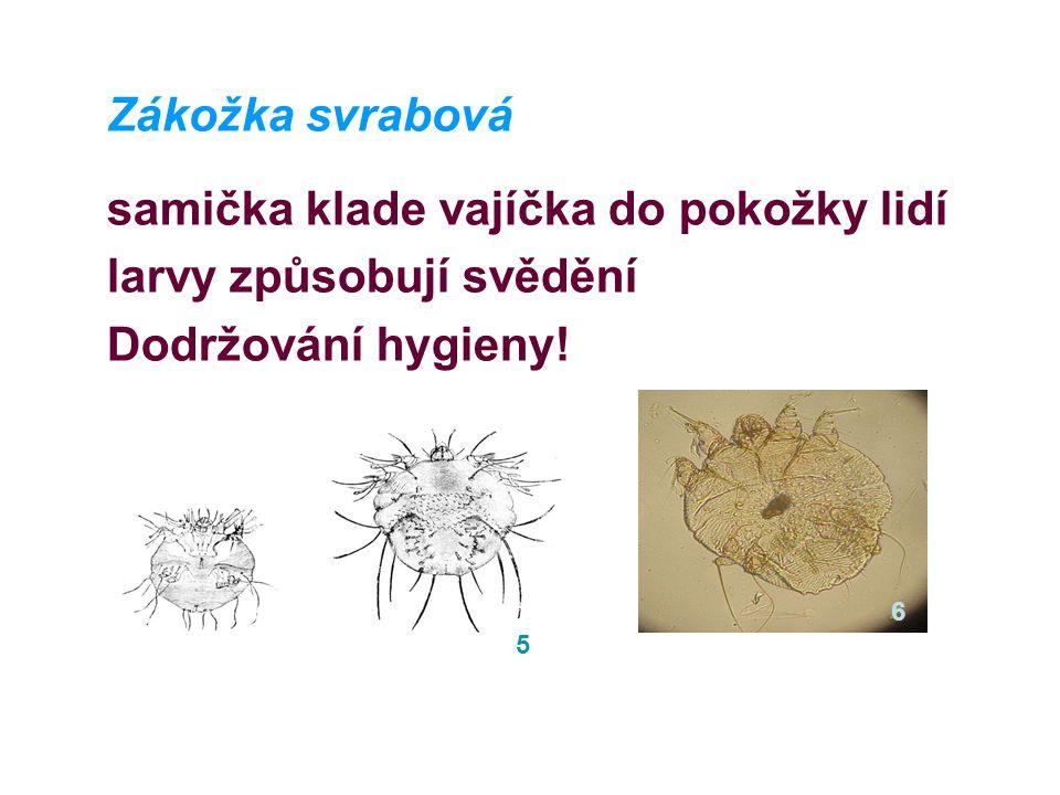Zákožka svrabová samička klade vajíčka do pokožky lidí larvy způsobují svědění Dodržování hygieny.