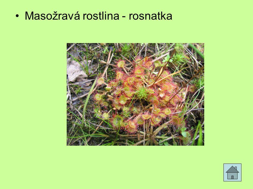 Masožravá rostlina - rosnatka
