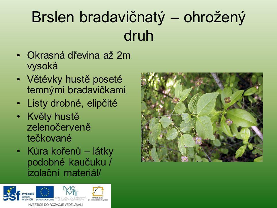 Brslen bradavičnatý – ohrožený druh Okrasná dřevina až 2m vysoká Větévky hustě poseté temnými bradavičkami Listy drobné, elipčité Květy hustě zelenoče