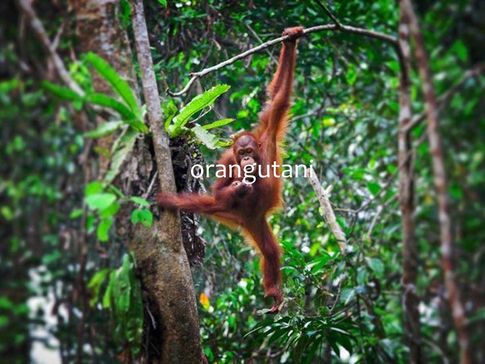 Orangutan je přibližně 1,1-1,5 metru vysoký a váží 30-90 kilogramů.