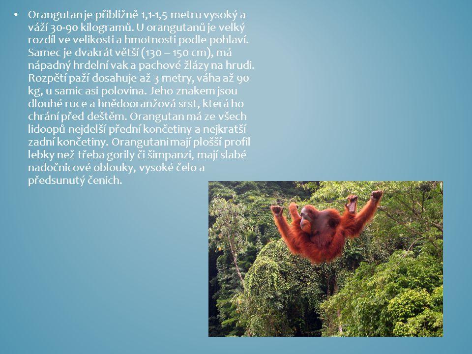 Orangutan je přibližně 1,1-1,5 metru vysoký a váží 30-90 kilogramů. U orangutanů je velký rozdíl ve velikosti a hmotnosti podle pohlaví. Samec je dvak