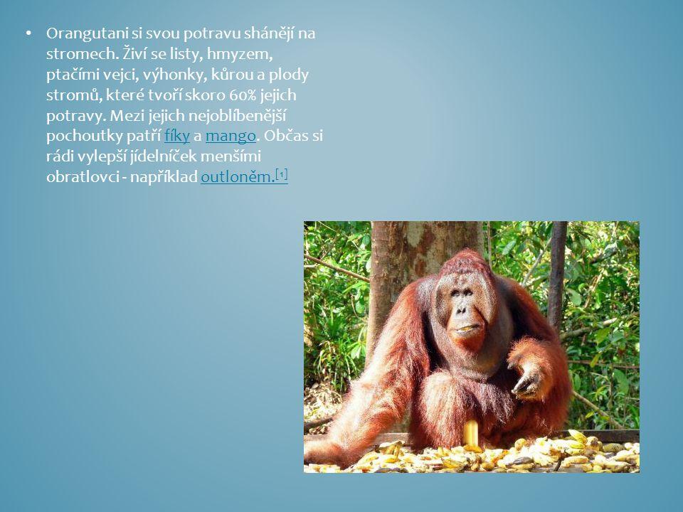 Orangutani si svou potravu shánějí na stromech. Živí se listy, hmyzem, ptačími vejci, výhonky, kůrou a plody stromů, které tvoří skoro 60% jejich potr