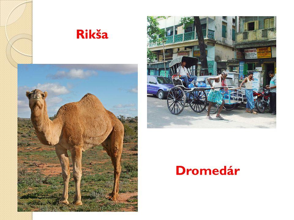 Rikša Dromedár