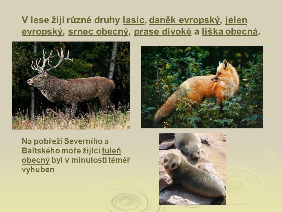 V lese žijí různé druhy lasic, daněk evropský, jelen evropský, srnec obecný, prase divoké a liška obecná.lasicdaněk evropskýjelen evropskýsrnec obecný