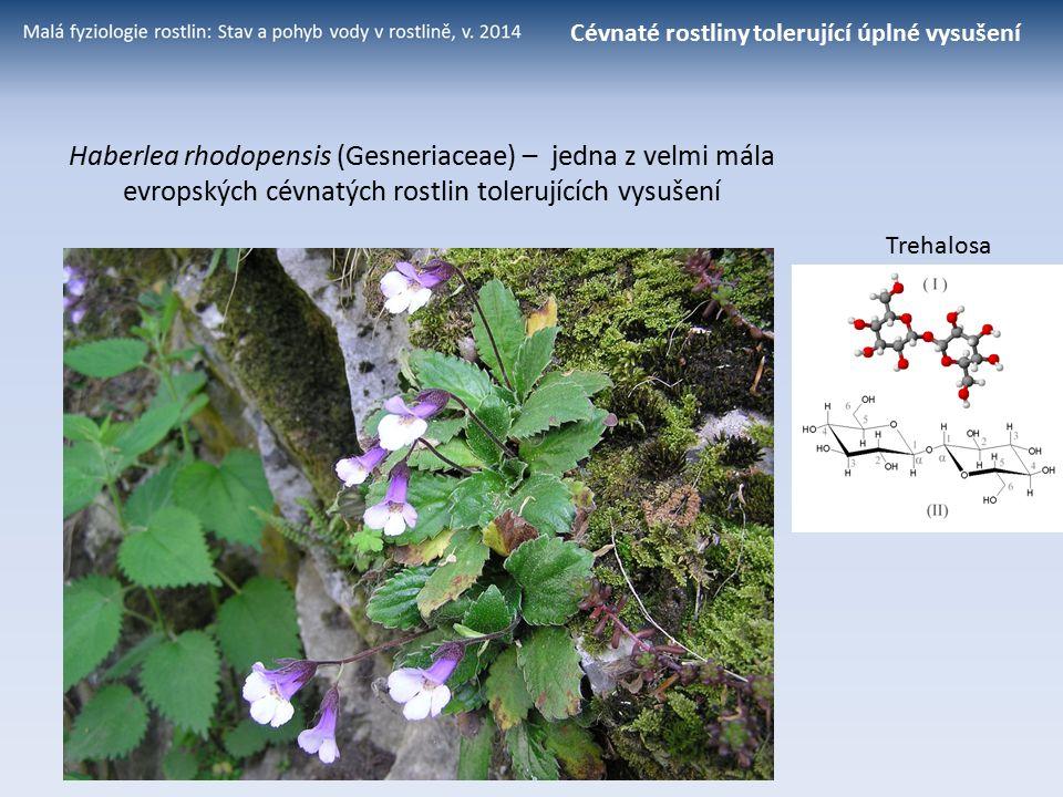 Trehalosa Haberlea rhodopensis (Gesneriaceae) – jedna z velmi mála evropských cévnatých rostlin tolerujících vysušení Cévnaté rostliny tolerující úpln
