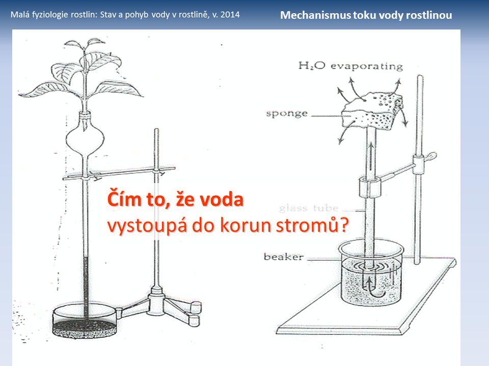 Čím to, že voda vystoupá do korun stromů? Mechanismus toku vody rostlinou