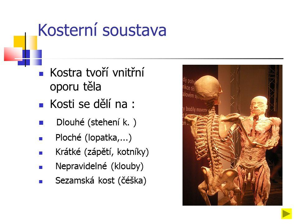 Kosterní soustava Kostra tvoří vnitřní oporu těla Kosti se dělí na : Dlouhé (stehení k.