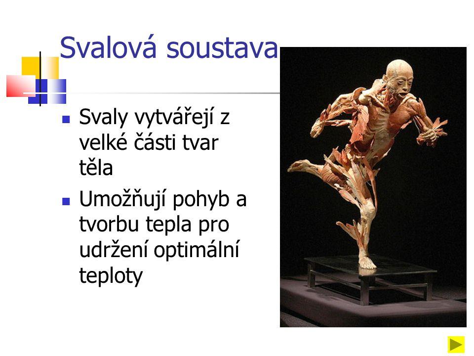 Svalová soustava Svaly vytvářejí z velké části tvar těla Umožňují pohyb a tvorbu tepla pro udržení optimální teploty