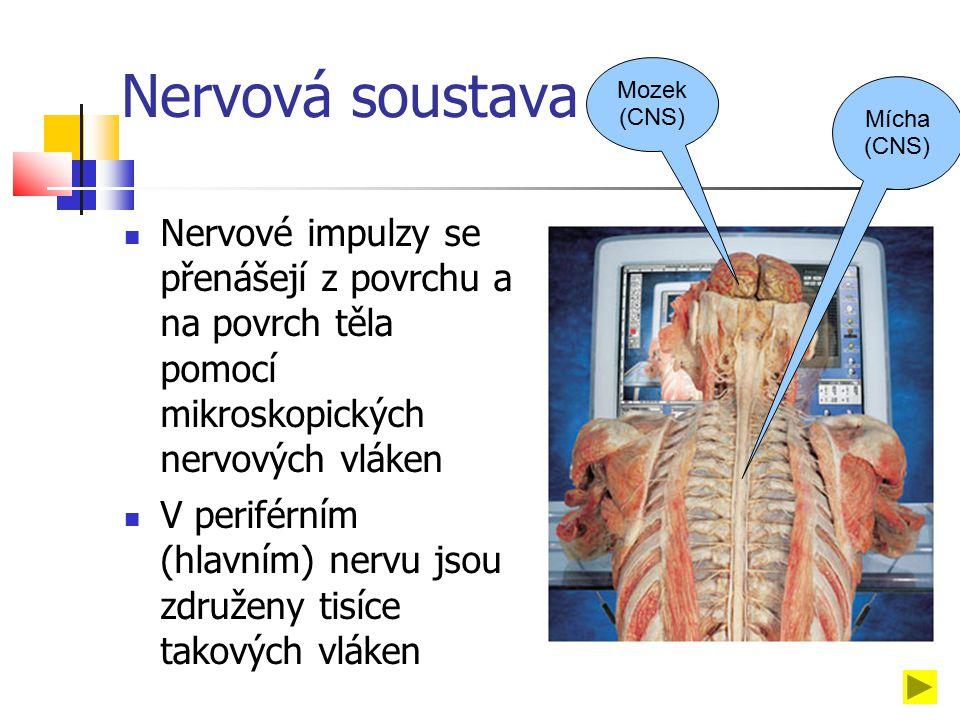 Nervová soustava Nervové impulzy se přenášejí z povrchu a na povrch těla pomocí mikroskopických nervových vláken V periférním (hlavním) nervu jsou združeny tisíce takových vláken Mícha (CNS) Mozek (CNS)