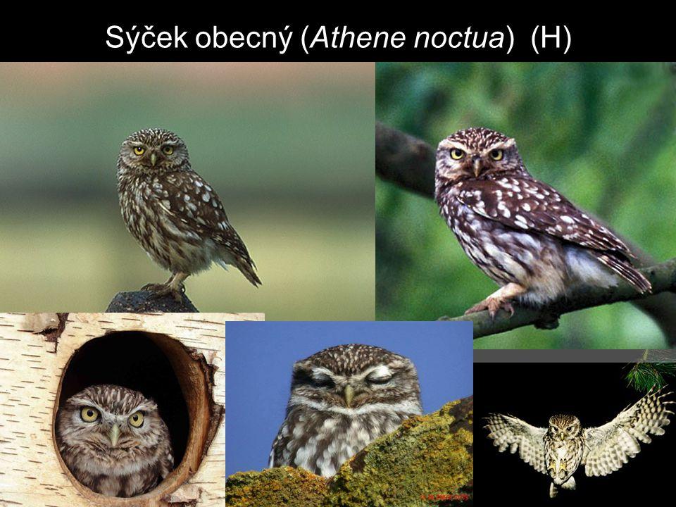 Sýček obecný (Athene noctua) (H)