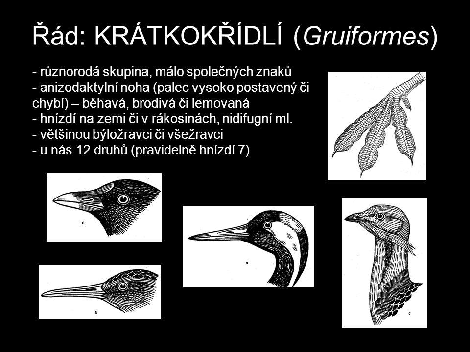 Řád: KRÁTKOKŘÍDLÍ (Gruiformes) - různorodá skupina, málo společných znaků - anizodaktylní noha (palec vysoko postavený či chybí) – běhavá, brodivá či