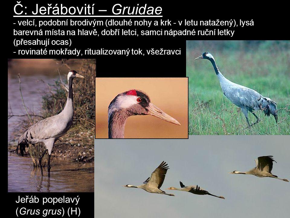 Č: Jeřábovití – Gruidae - velcí, podobní brodivým (dlouhé nohy a krk - v letu natažený), lysá barevná místa na hlavě, dobří letci, samci nápadné ruční