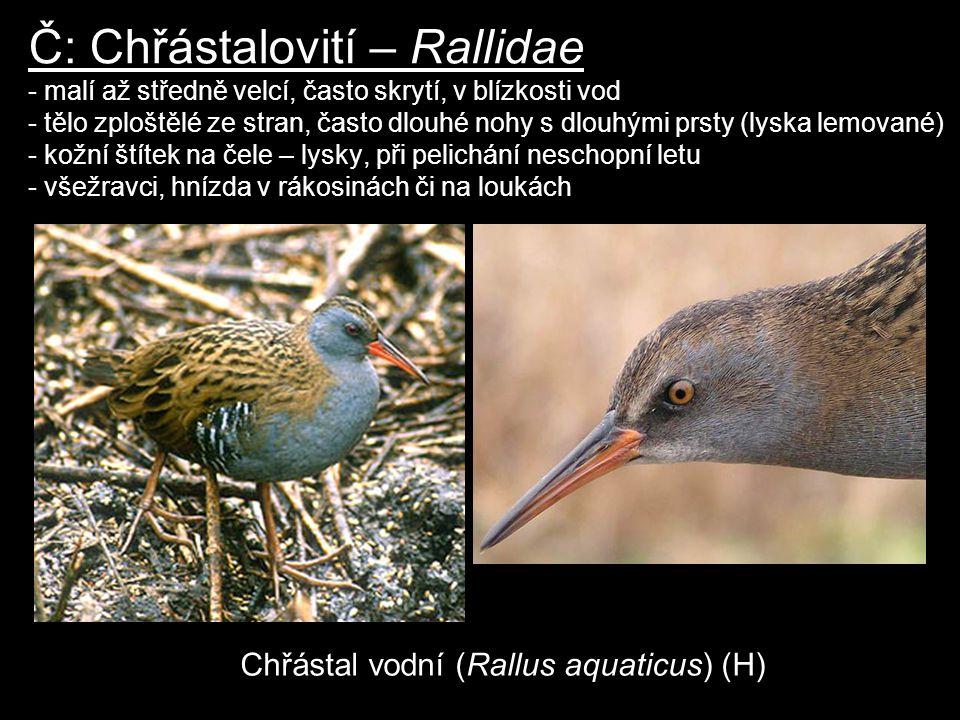 Č: Chřástalovití – Rallidae - malí až středně velcí, často skrytí, v blízkosti vod - tělo zploštělé ze stran, často dlouhé nohy s dlouhými prsty (lysk