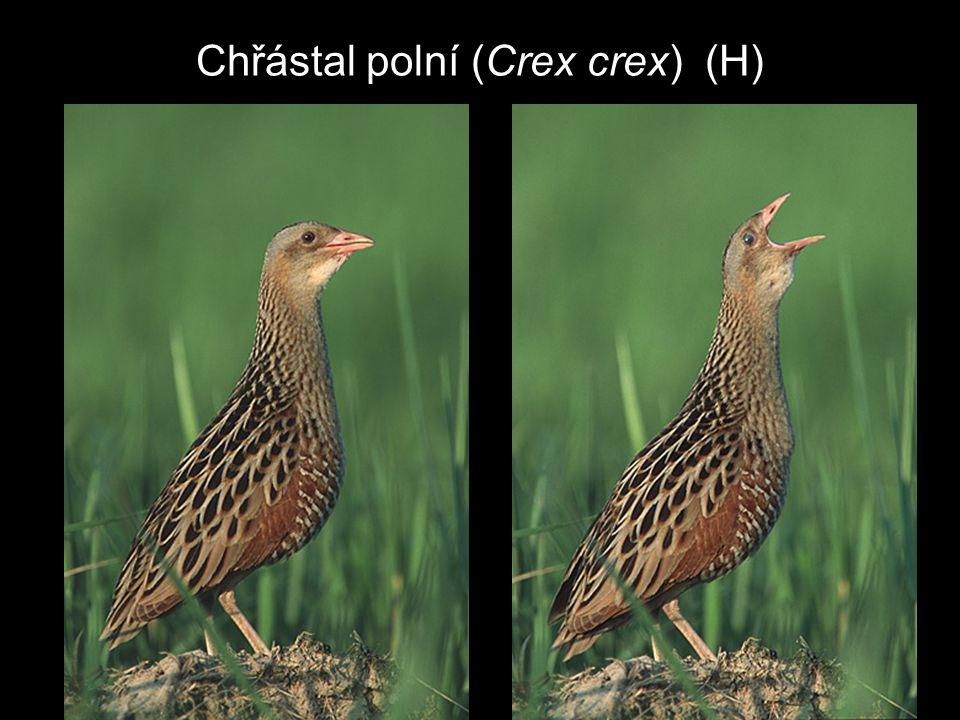 Chřástal polní (Crex crex) (H)