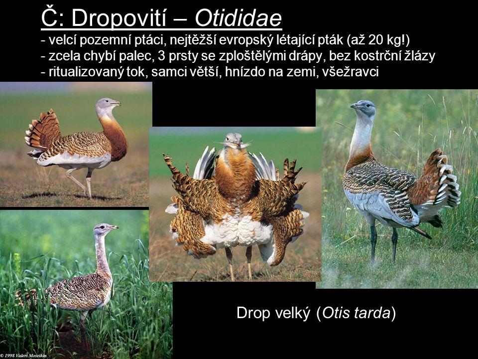 Č: Dropovití – Otididae - velcí pozemní ptáci, nejtěžší evropský létající pták (až 20 kg!) - zcela chybí palec, 3 prsty se zploštělými drápy, bez kost