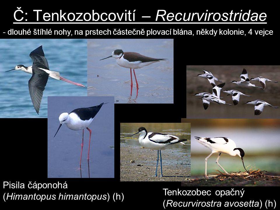 Č: Tenkozobcovití – Recurvirostridae Pisila čáponohá (Himantopus himantopus) (h) - dlouhé štíhlé nohy, na prstech částečně plovací blána, někdy koloni