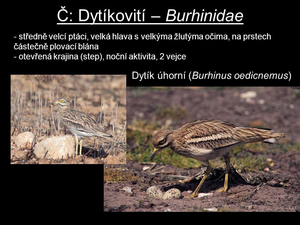 Č: Dytíkovití – Burhinidae Dytík úhorní (Burhinus oedicnemus) - středně velcí ptáci, velká hlava s velkýma žlutýma očima, na prstech částečně plovací