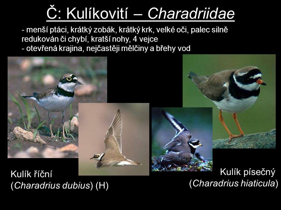 Č: Kulíkovití – Charadriidae Kulík říční (Charadrius dubius) (H) - menší ptáci, krátký zobák, krátký krk, velké oči, palec silně redukován či chybí, k