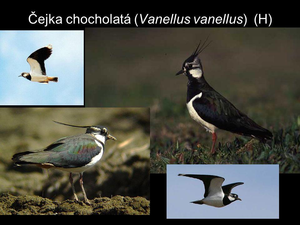 Čejka chocholatá (Vanellus vanellus) (H)