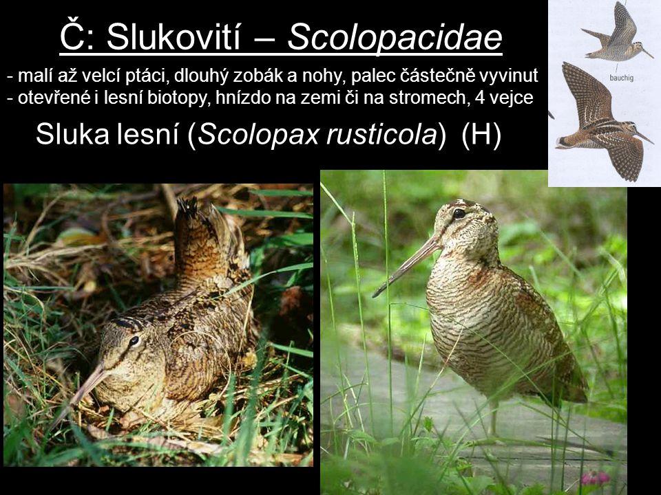 Č: Slukovití – Scolopacidae - malí až velcí ptáci, dlouhý zobák a nohy, palec částečně vyvinut - otevřené i lesní biotopy, hnízdo na zemi či na strome