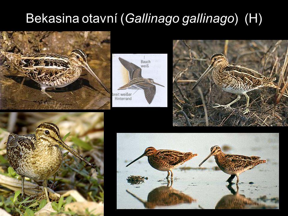 Bekasina otavní (Gallinago gallinago) (H)