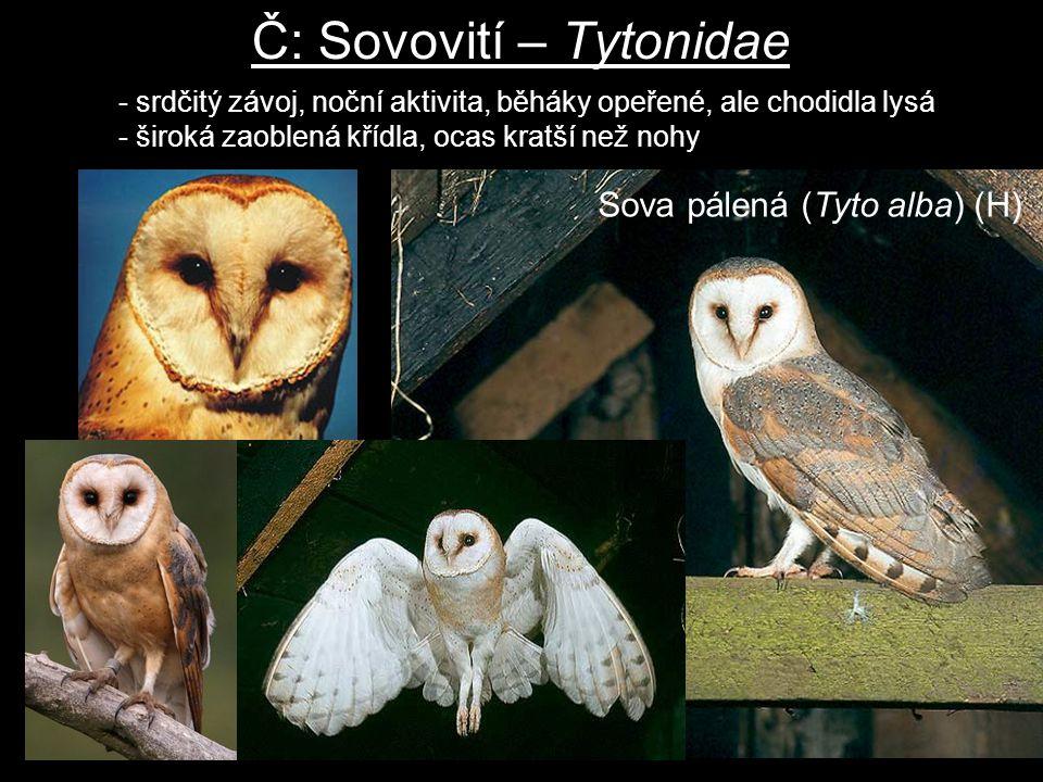 Č: Sovovití – Tytonidae - srdčitý závoj, noční aktivita, běháky opeřené, ale chodidla lysá - široká zaoblená křídla, ocas kratší než nohy Sova pálená