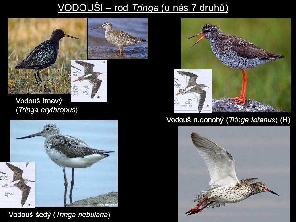 Vodouš tmavý (Tringa erythropus) VODOUŠI – rod Tringa (u nás 7 druhů) Vodouš rudonohý (Tringa totanus) (H) Vodouš šedý (Tringa nebularia)