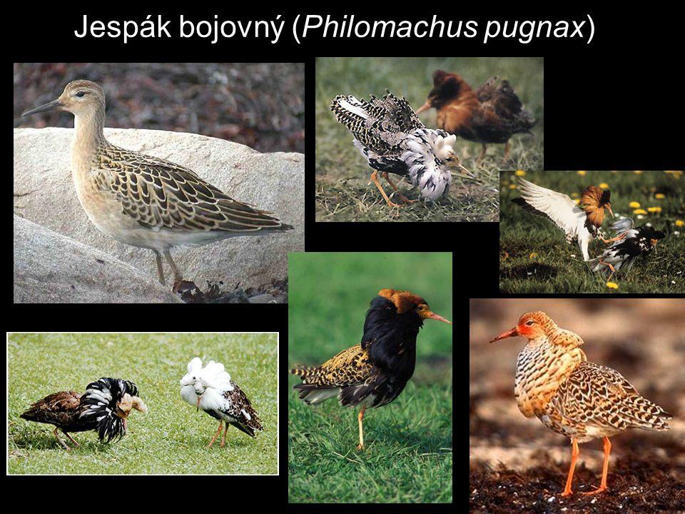 Jespák bojovný (Philomachus pugnax)