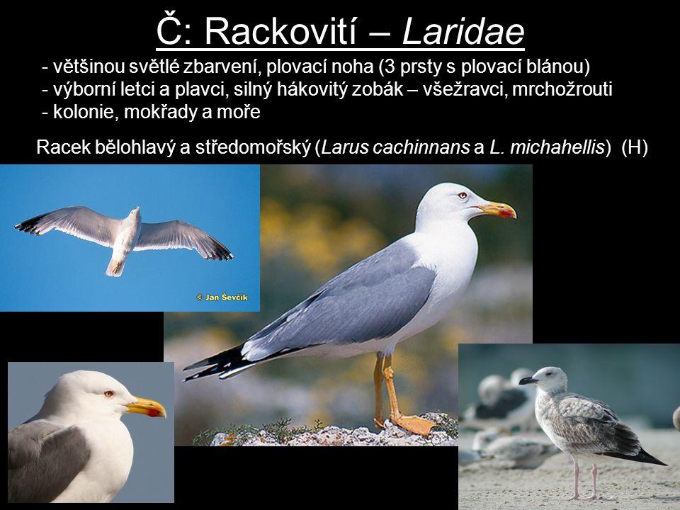 Č: Rackovití – Laridae - většinou světlé zbarvení, plovací noha (3 prsty s plovací blánou) - výborní letci a plavci, silný hákovitý zobák – všežravci,