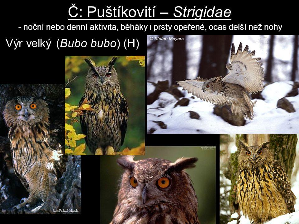 Č: Puštíkovití – Strigidae - noční nebo denní aktivita, běháky i prsty opeřené, ocas delší než nohy Výr velký (Bubo bubo) (H)
