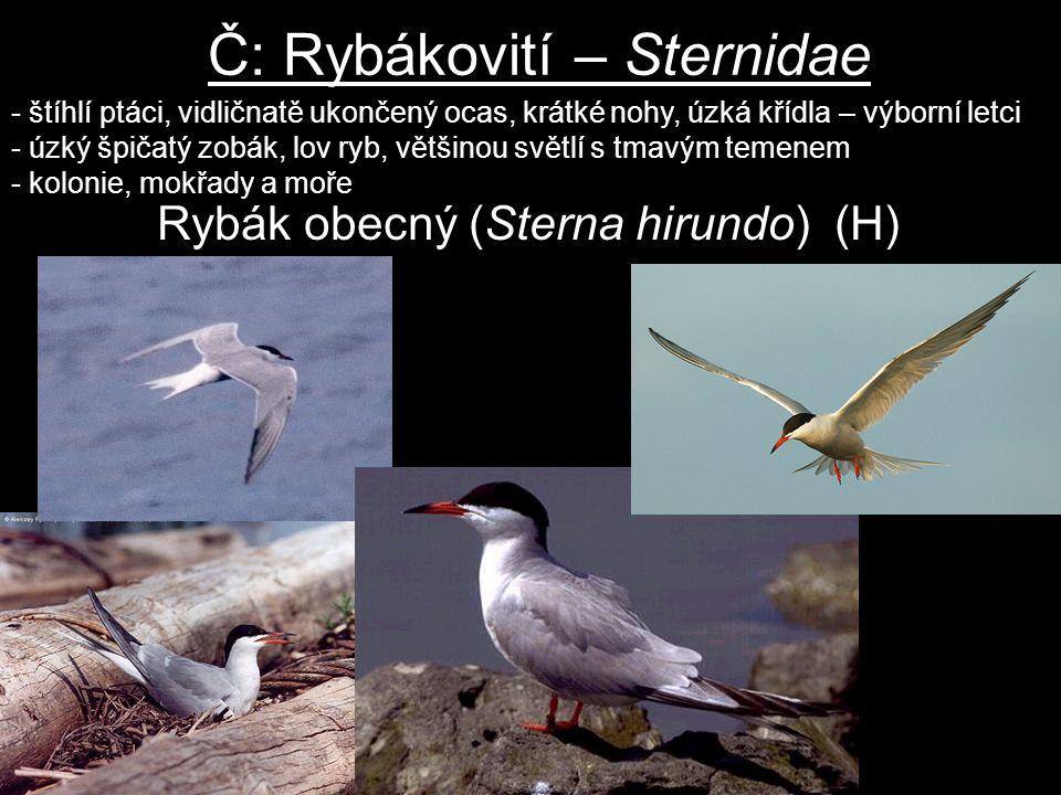 Č: Rybákovití – Sternidae - štíhlí ptáci, vidličnatě ukončený ocas, krátké nohy, úzká křídla – výborní letci - úzký špičatý zobák, lov ryb, většinou s