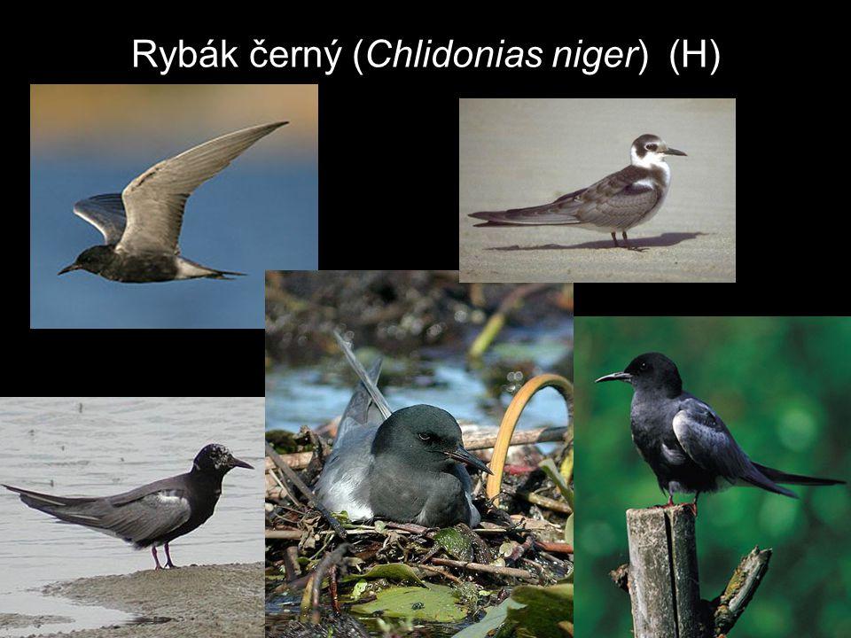 Rybák černý (Chlidonias niger) (H)
