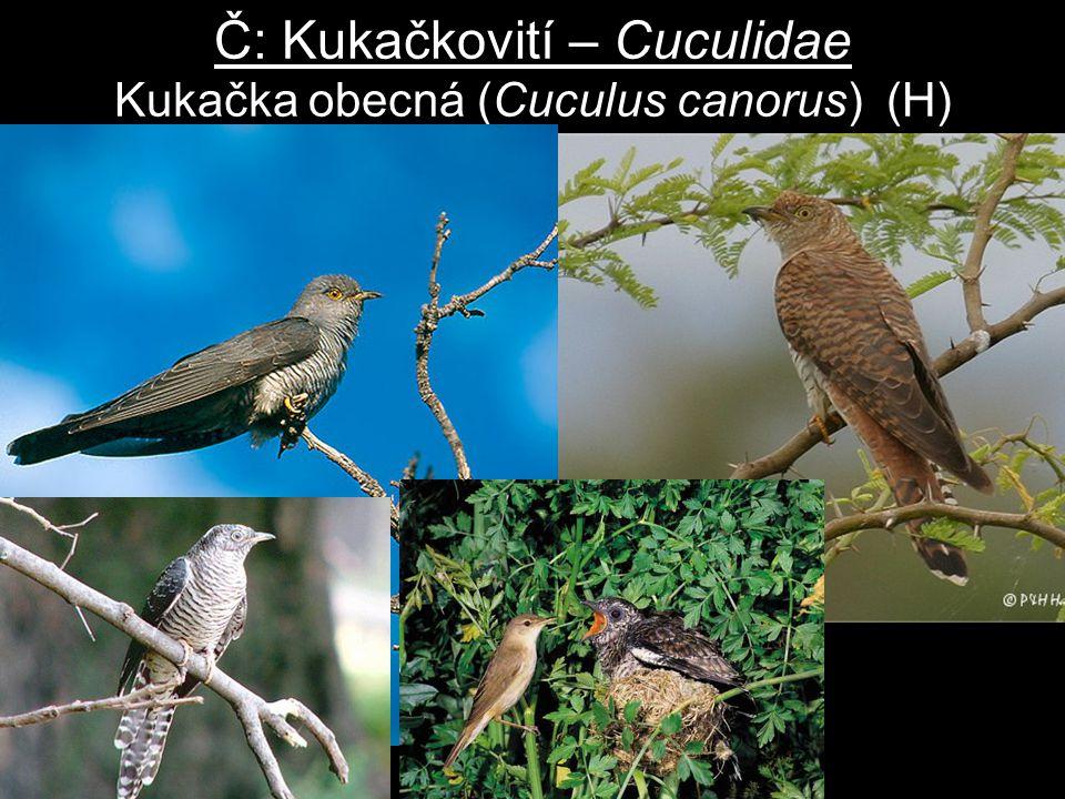 Č: Kukačkovití – Cuculidae Kukačka obecná (Cuculus canorus) (H)