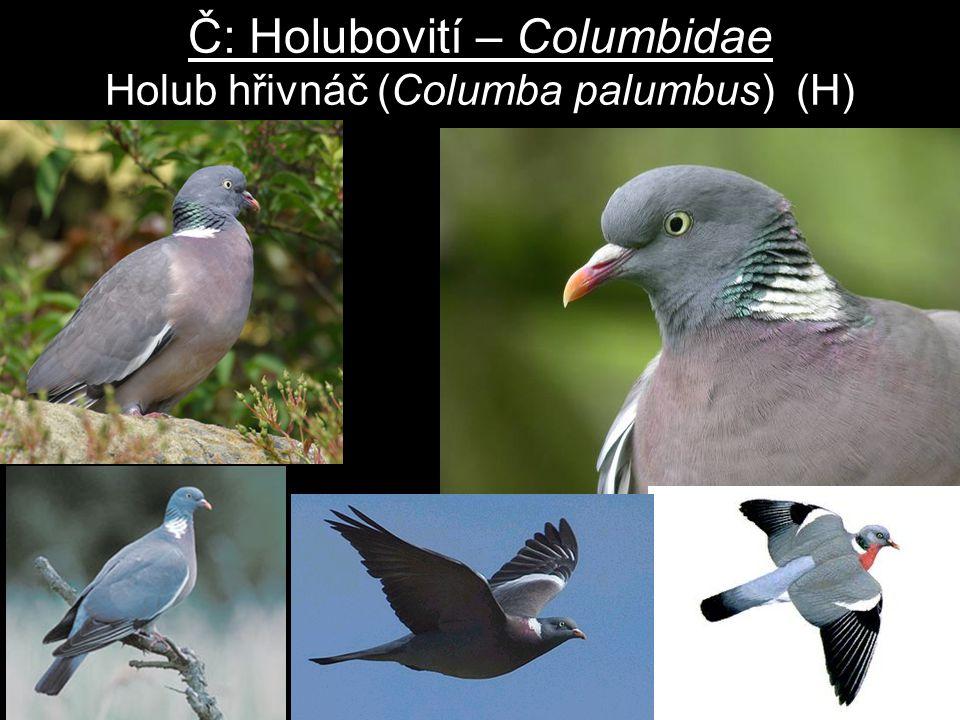 Č: Holubovití – Columbidae Holub hřivnáč (Columba palumbus) (H)
