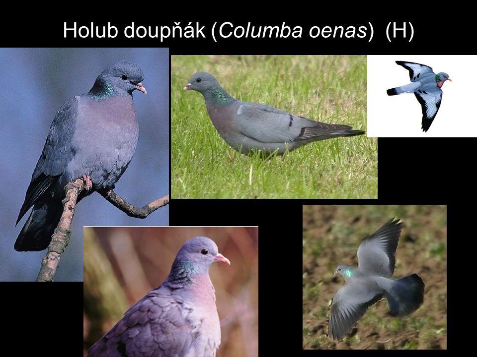 Holub doupňák (Columba oenas) (H)