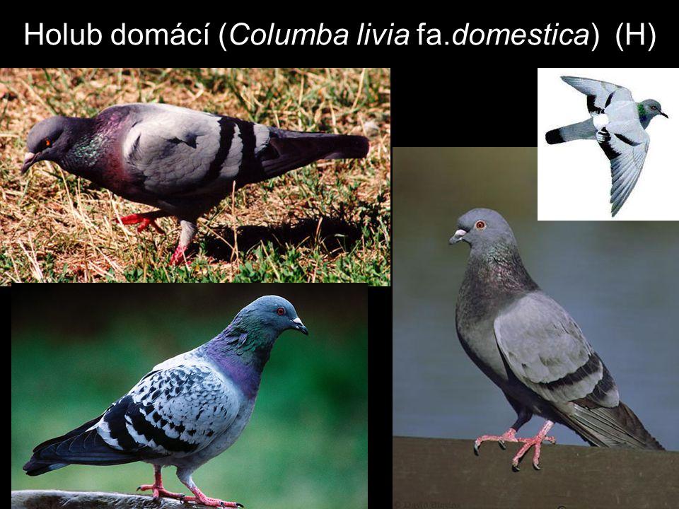 Holub domácí (Columba livia fa.domestica) (H)