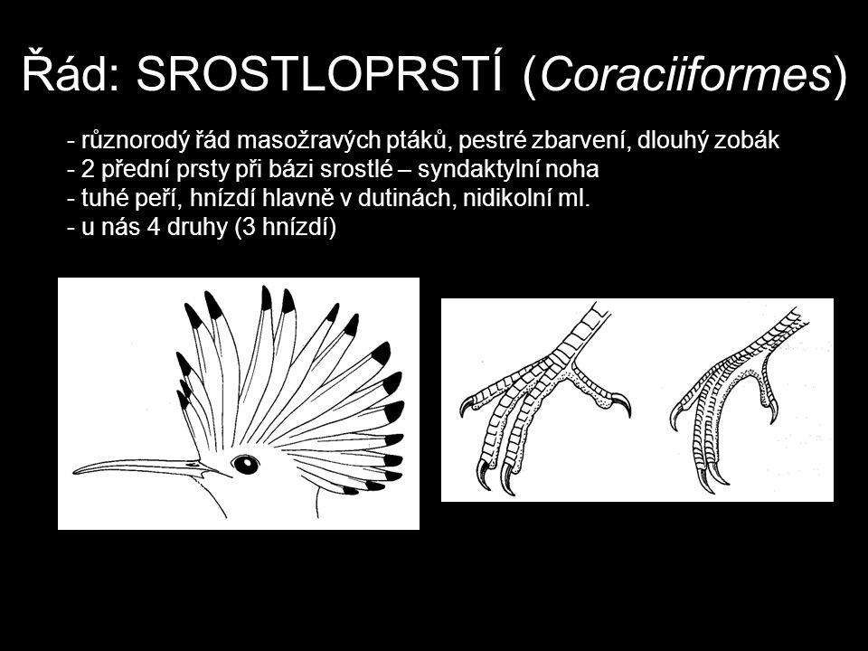 Řád: SROSTLOPRSTÍ (Coraciiformes) - různorodý řád masožravých ptáků, pestré zbarvení, dlouhý zobák - 2 přední prsty při bázi srostlé – syndaktylní noh