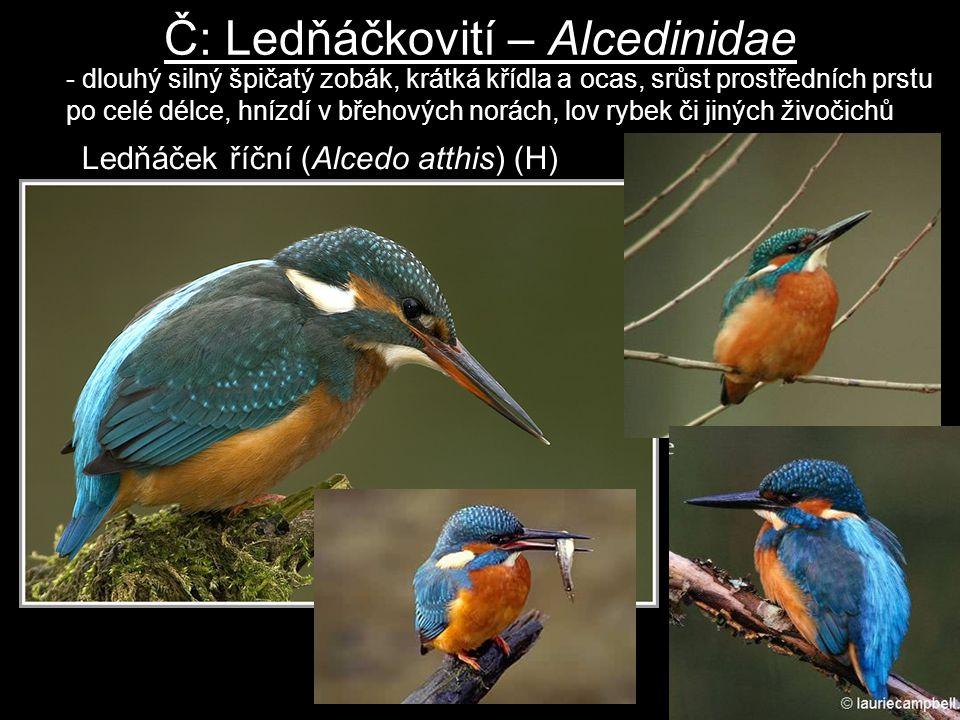 Č: Ledňáčkovití – Alcedinidae Ledňáček říční (Alcedo atthis) (H) - dlouhý silný špičatý zobák, krátká křídla a ocas, srůst prostředních prstu po celé