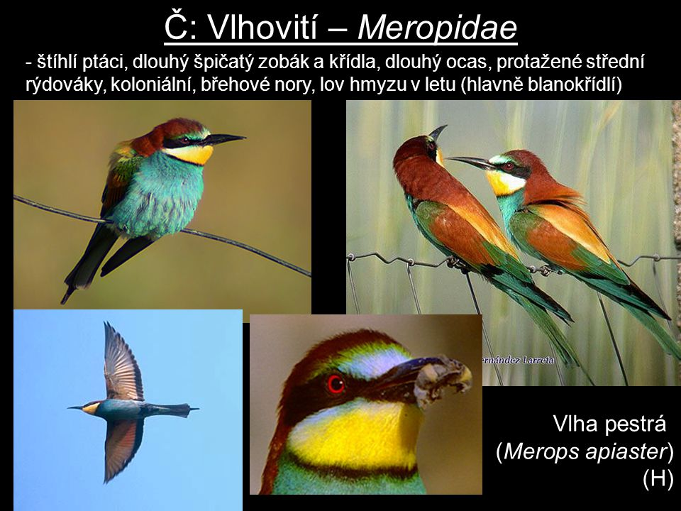 Č: Vlhovití – Meropidae Vlha pestrá (Merops apiaster) (H) - štíhlí ptáci, dlouhý špičatý zobák a křídla, dlouhý ocas, protažené střední rýdováky, kolo