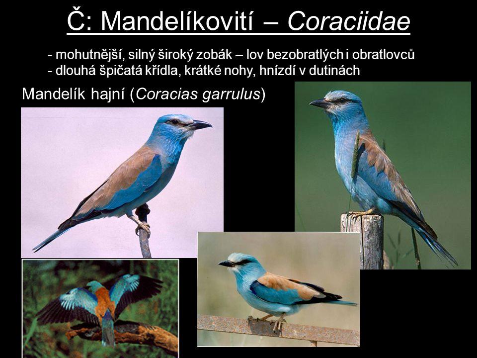 Č: Mandelíkovití – Coraciidae Mandelík hajní (Coracias garrulus) - mohutnější, silný široký zobák – lov bezobratlých i obratlovců - dlouhá špičatá kří