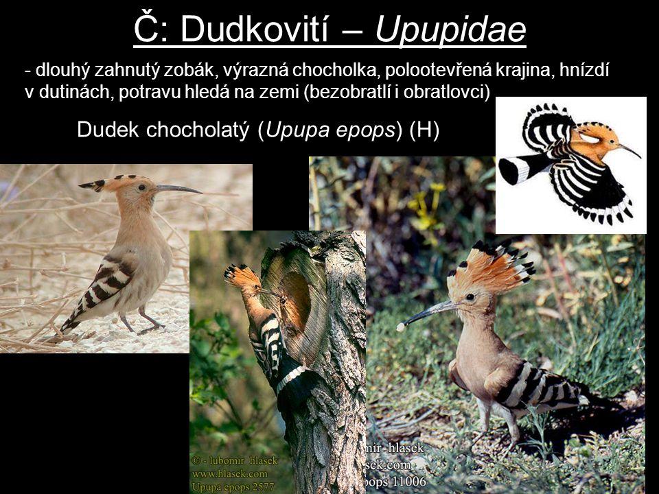 Č: Dudkovití – Upupidae Dudek chocholatý (Upupa epops) (H) - dlouhý zahnutý zobák, výrazná chocholka, polootevřená krajina, hnízdí v dutinách, potravu